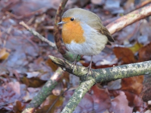 Here's our robin friend