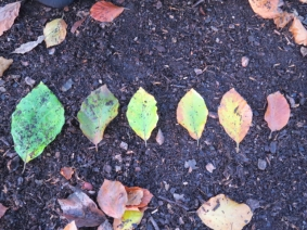 All beech leaves, but all different